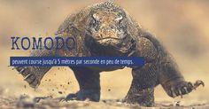 komodo  peuvent course jusqu'à 5 mètres par seconde en peu de temps. http://bit.ly/1I0zcT4 #animaux   #monstre   #dragon   #komodo   #voyage