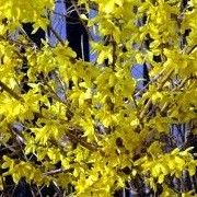 Botanical name: Forsythia x intermedia 'Minigold'    Other names: Forsythia 'Minigold', Forsythia x intermedia 'Flojor', Forsythia 'Mini Gold' Click image to learn more, add to your lists and get care advice reminders each month.