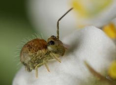 Springtail by ronibiza
