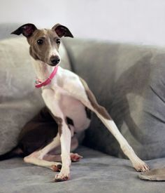 """what did you say!?"" Italian Greyhound"