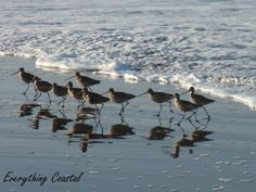 Everything Coastal....: Ocean Beach Sand Pipers