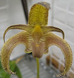 Bulbophyllum lobbii Care