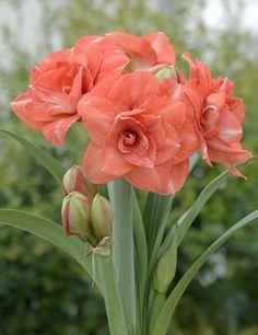 Beautiful Flowers Pictures, Beautiful Flowers Garden, Flower Pictures, Exotic Flowers, Amaryllis Plant, Amarillis, Hoya Plants, Belleza Natural, Girl Tattoos