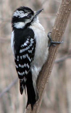 """Downy Woodpecker----we call the female """"Daphne""""--""""Mr. Downy""""  his lady """"Daphne"""""""