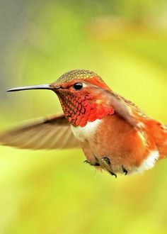 Allen's Hummingbird by Edita De Lima