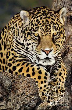 Beautiful Cats, Animals Beautiful, Animals And Pets, Cute Animals, Wild Animals, Zoo Animals, Jaguar Animal, Small Wild Cats, Gato Grande