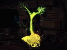 Glowing Plant, planta que brilha no escuro sem eletricidade