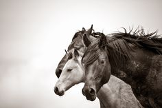 Together We Stand - Wild Horse Black and White Photography - Kimerlee Curyl fine art All The Pretty Horses, Beautiful Horses, Animals Beautiful, Cute Animals, Majestic Horse, Together We Stand, Wild Mustangs, Mundo Animal, Horse Pictures
