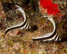 Juvenile Drumfish St. Croix, US Virgin Islands
