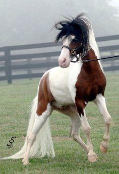 Nighthawk_18 yr old stallion