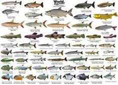 Tetra Fish, Monster Fishing, Fish Breeding, All Fish, Types Of Fish, Aquaponics System, Exotic Fish, Freshwater Fish, Tropical Fish