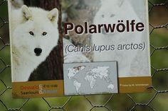 Polarwölfe sind eine Unterart der Wölfe und werden zur Hundefamilie gezählt.