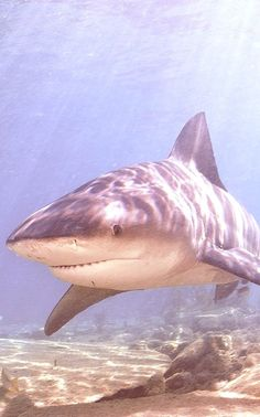 The bull shark is more aggressive than a great white shark. Underwater Creatures, Underwater Life, Ocean Creatures, Underwater Animals, Save The Sharks, All Sharks, Under The Water, Under The Sea, Delphine