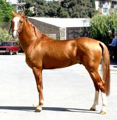 The Karabakh horse is an ancient mountain saddle breed from Karabakh in Azerbaijan. The breed is thought to be a cross-breeding of Akhal-Teke, Persian, Kabarda, Turkoman, and Arabian horse. It also influenced the development of the Russian Don horse in the 19th century. At present, the Karabakh is bred mainly in Azerbaijan's Shaki region. There are less than 1,000 today!