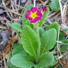 Primrose flowers bloom in early spring, offering a variety of form, size, and color. They are suitable for use in garden beds, borders and containers. Get growing and care information for primrose here.