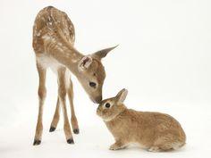 Fallow Deer (Dama Dama) Fawn and Sandy Netherland-Cross Rabbit Photographic Print at AllPosters.com
