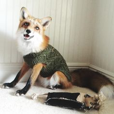 """""""Holiday fox is ready for turkey"""""""