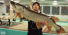 A tiger muskie, which is actually a hybrid between northern pike and muskellunge, counts as a muskie for length, bag and possession limits, and has dark vertical bars and dark irregular spots on an olive to dark gray base.   Iowa DNR