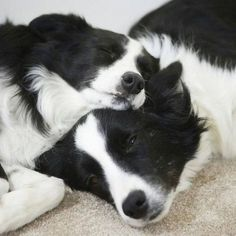 border collies #bordercollie