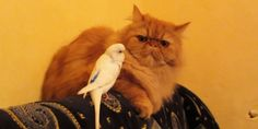 Cats are notorious loners, yet nothing will stop these extroverted birds from trying to forge a friendship. Haven't they ever seen a Tweety bird cartoon?   It's a dangerous game for birds to play with their natural predators, but oh, how they...