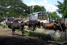 Alimentación del ganado vacuno.