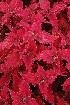 Click to view full-size photo of Stained Glass Copper Coleus (Solenostemon scutellarioides 'Stained Glass Copper') at Flowerland