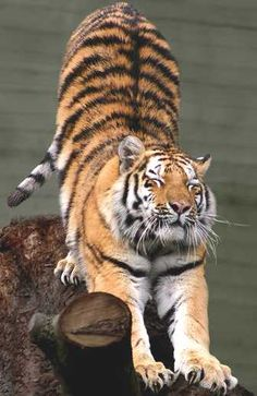 Siberian tiger Stretching~