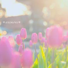 #チューリップ#tulip#アイスチューリップ#flower#玉ボケ