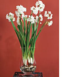 Easily grown in a pot or vase indoors. Their large clusters of pure white flowers arch above graceful, blue-green foilage, and their perfume fills a room with fragrance. Paperwhites require no preparation and are absolutely foolproof. When bulbs are planted in early December, they will flower in 4 to 6 weeks with seldom a miss.