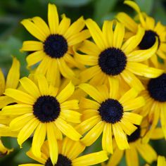 Rudbeckia American Gold Rush is a new AAS Winning perennial that has bright, golden-yellow flowers with black centers. With arched petals, . Best Perennials, Herbaceous Perennials, Hardy Perennials, Flowers Perennials, Deer Resistant Perennials, Cottage Garden Design, Cottage Gardens, How To Attract Hummingbirds, Annual Flowers