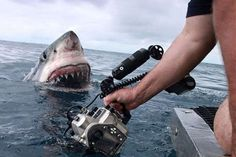 Shark close up: curious great white shark almost touches the lens...
