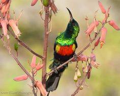Sunbird via Bird's Eye View at www.Facebook.com/aBirdsEyeViewForYou