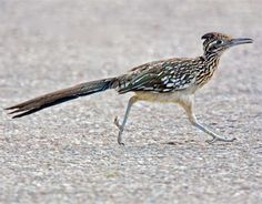 Arizona Road Runner