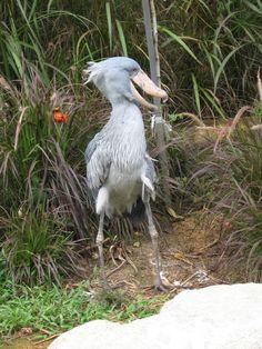 Shoebill Balaeniceps rex - Google Search