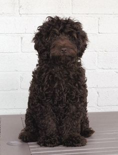 Cute dogs Portuguese Water dog AKA the dirty colored mop I must have for my house. Cute Pets