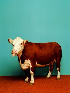 Cow by Catherine Ledner ... love this picture!