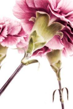 Carnations by Priska Wettstein