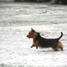 Arista Australian Terriers Australian Terrier Puppies, Norfolk Terrier Puppies, Terrier Rescue, Terriers, Corgi, America, Animals, Corgis, Animales