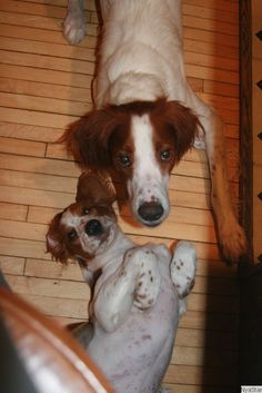 Puppy Love :) Irish Red and White Setters