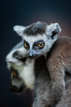 Lemurs by Justin Lo - these little guys are one of my absolute favs!