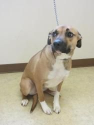 PENNY is an adoptable Shepherd Dog in Bowling Green, OH.  ...