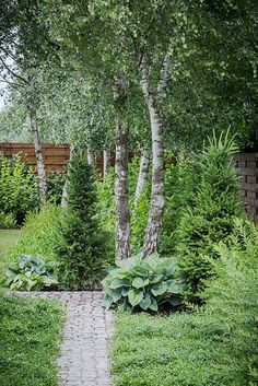 Betula utilis - birch trees at the end of stone pathway in modern garden. Symphoricarpos shrubs next to wooden fence