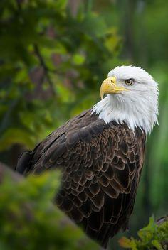 Bald eagle 5 by Edwin Leung / 500px Bald Eagle, Birds Of Prey, Animals, Animales, Animaux, Animal, Animais