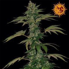 Barneys Farm - Honey B Feminised Cannabis Seeds - Buy Cannabis Seeds Online | Dr Chronic Seeds | London | Essex | UK | The Original Cannabis Seed Emporium | The Worlds Best Marijuana Seeds