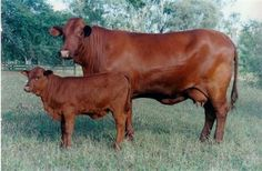 Santa Gertrudis Cattle For Sale in Missouri images