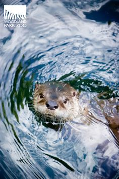 river otters sometimes swim in circles, creating a whirlpool. the maneuver pays off--the whirlpool brings up fish that were hiding on the bottom of the river or lake, making for easier snacking.