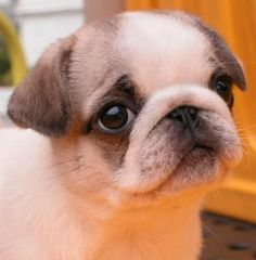 Cute Pug Puppy. White and Fawn, neat color variation