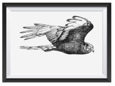 Black Harrier illsutrated in with Pen by Nicoll van der Nest