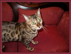 Bengal Cat Lucy Law on her favorite couch.