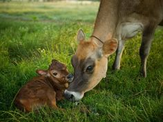 Organic Valley - WE LOVE OUR ANIMALS.